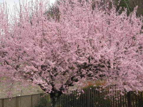 Cherry blossom, which has been abundant this year