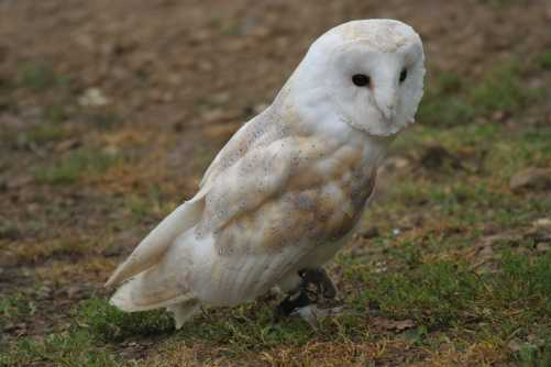 Barn owl - PhotoXpress/Peter Barrett