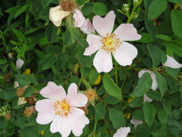 Wild rose, former labour day symbol
