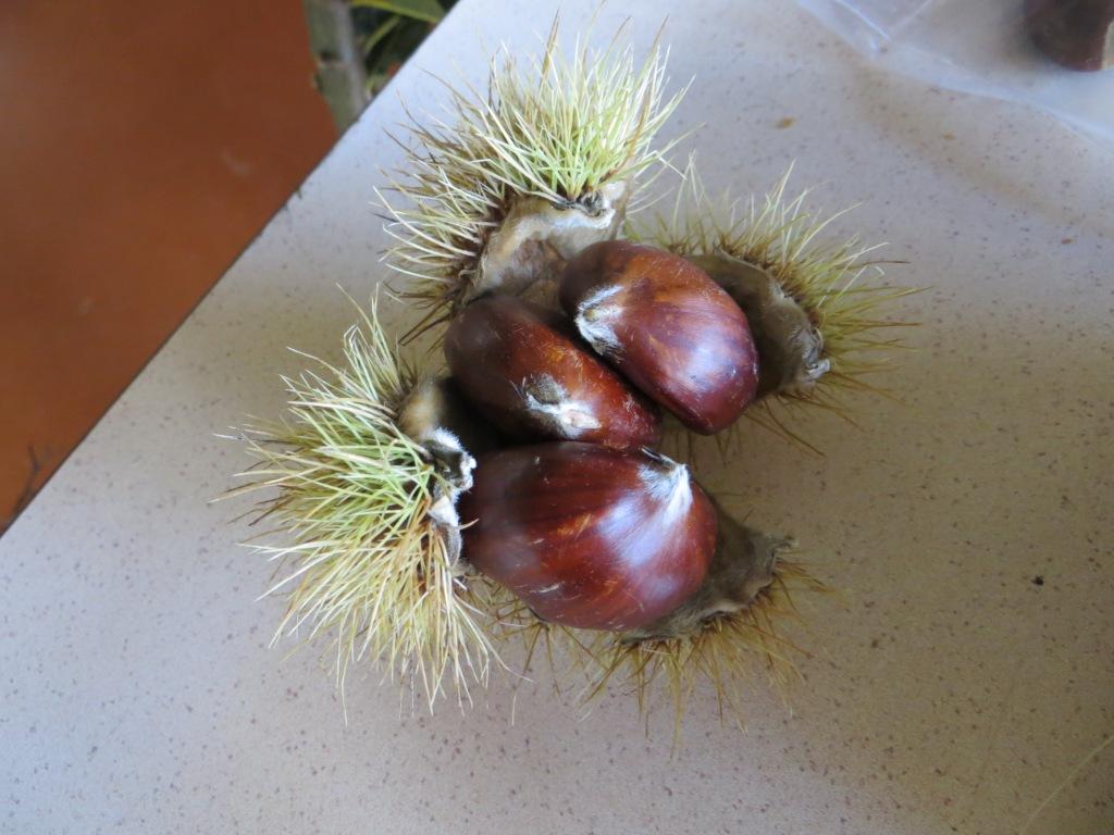 This autumn's chestnuts