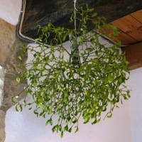Mistletoe in French Tradition