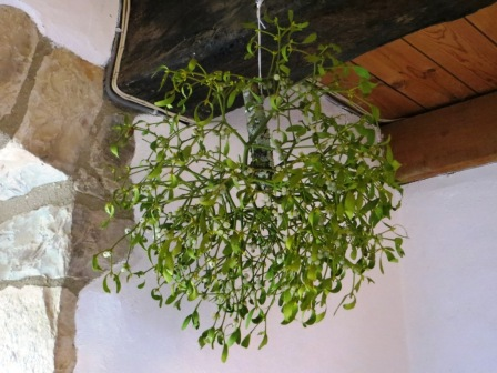 Mistletoe - abundant in our area