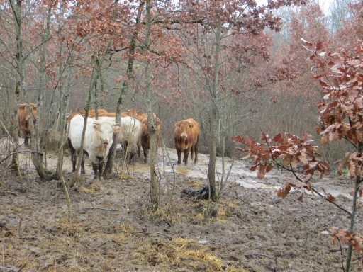Cows knee-deep in mud
