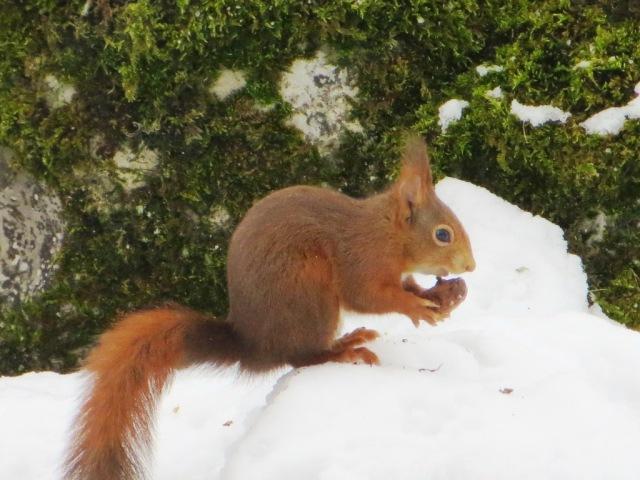 Winter 2012 - squirrel absorbed in walnut