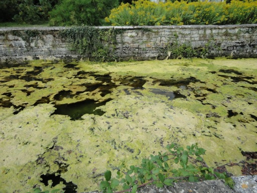 Vivier at Beaulieu covered with algae