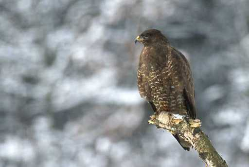 Common buzzard (Marek_Szczepanek) Wikimedia