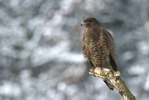 Common buzzard (Marek_Szczepanek) Wikimedia
