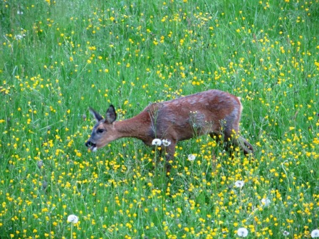 Deer helping itself to buttercups