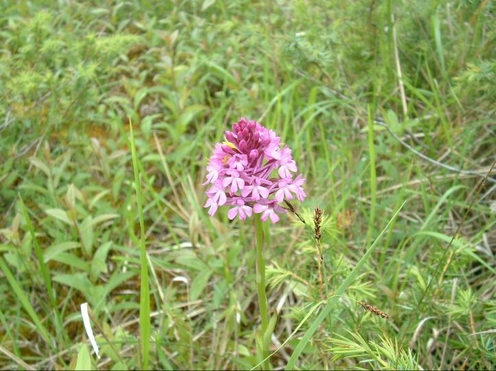 orchid-anacamptis-pyramidalis.jpg