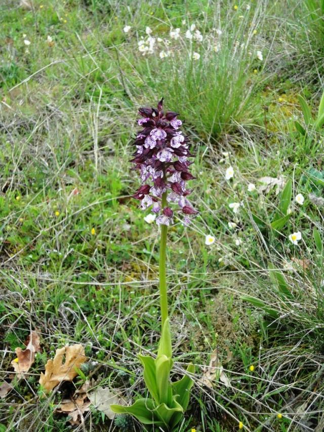 Orchid - Orchis militaris