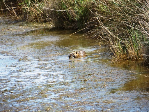 Coypu enjoying some water weed