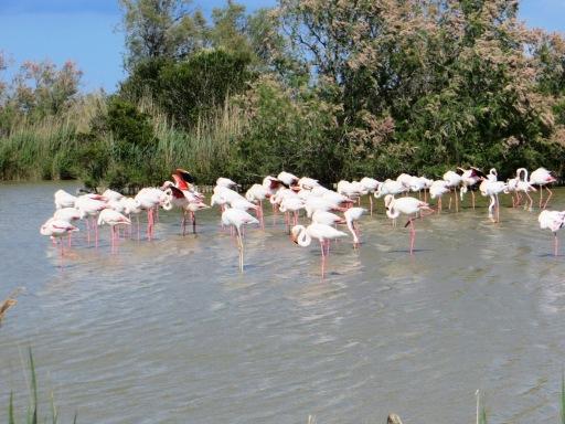 Flamingos in the Camargue