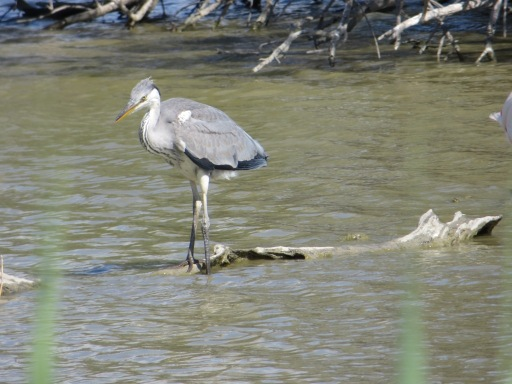 Young heron contemplating take-off