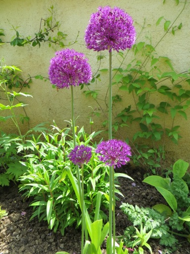 Alliums doing well