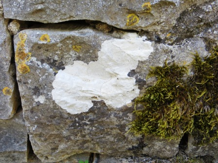 Patch of white lichen