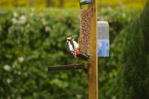 Great spotted woodpecker - often tempted by bird tables    © MichMac PhotXpress