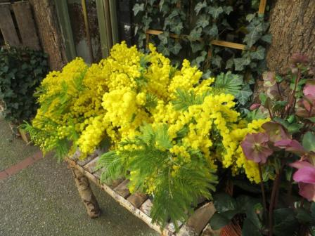 Mimosa for sale at a flower shop in Montauban