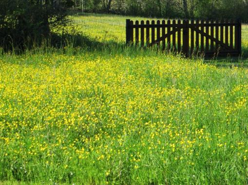 Cloth of gold: buttercups in our field