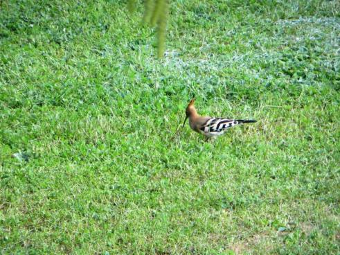 Hoopoe showing its beak
