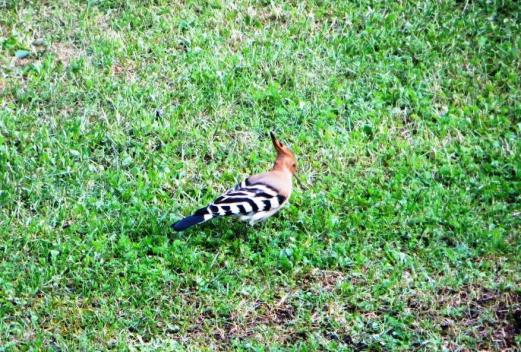 Hoopoe on the prowl