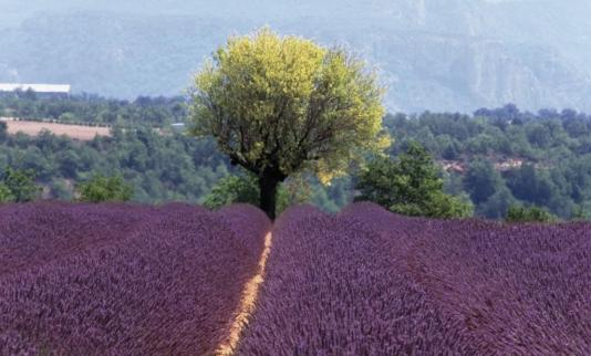 Field of lavender