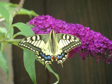 Beautiful swallowtail on our buddleia. I had to wait 10 minutes for this shot.