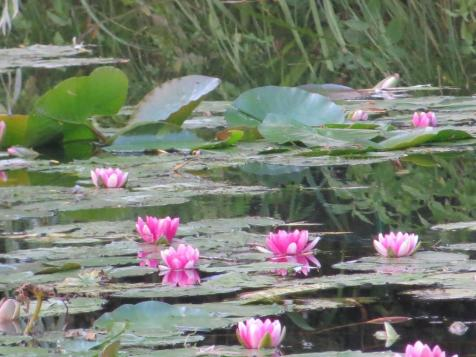 Water lilies at Giverny