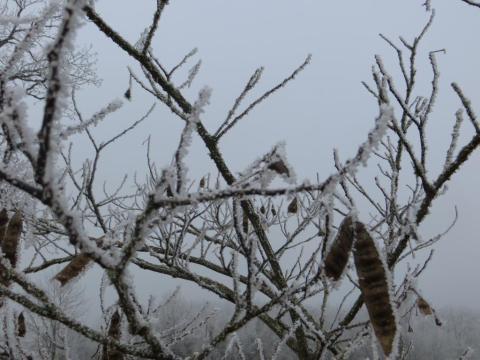 Frosty albizia today