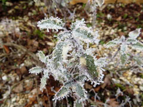 Frosty sage plant