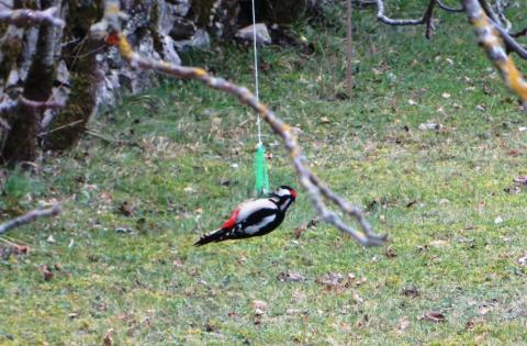 Great spotted woodpecker monopolising the fat ball