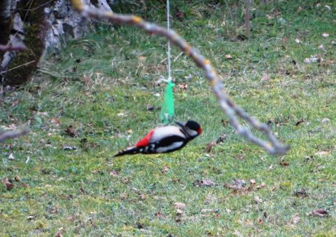 Acrobatic great spotted woodpecker