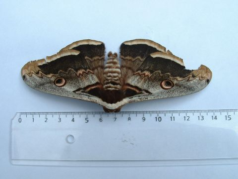 Great Peacock Moth