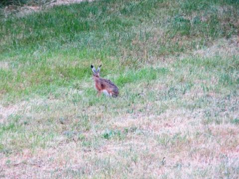 This hare's ears almost look like feathers