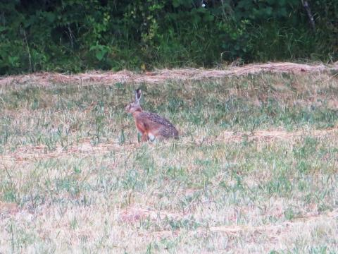 Hare taken from a distance, with a lovely russet chest