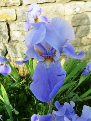 This year's resplendent irises