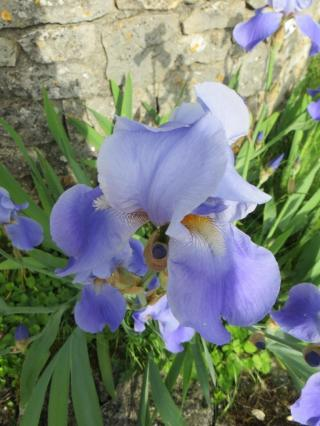 Delicate iris bloom