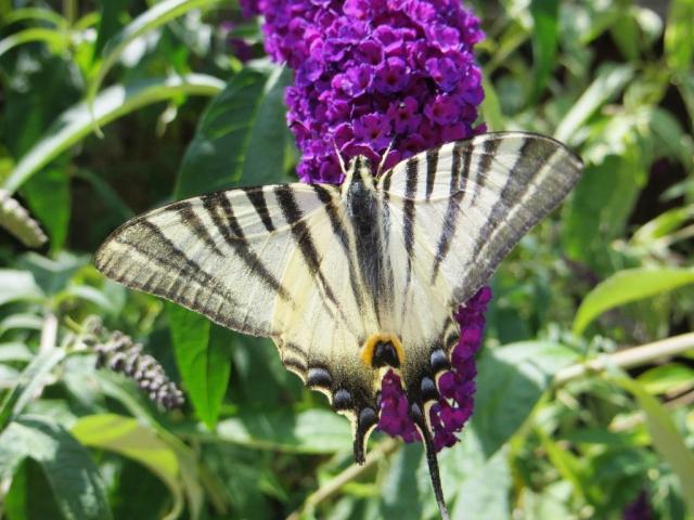 Swallowtail 4