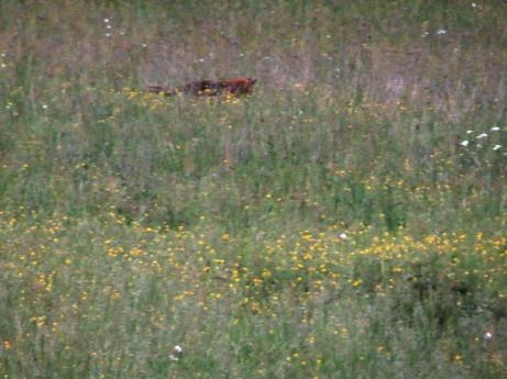 Fox prospecting at dusk