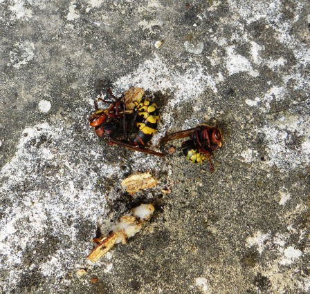 The queen (top left), a worker (top right) and a hornet grub (bottom)