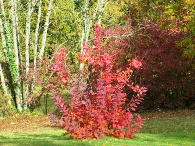 Autumn cotinus