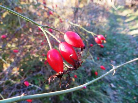 Rose hips - particularly abundant this year