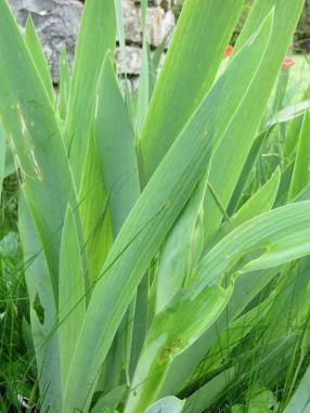 irises under attack