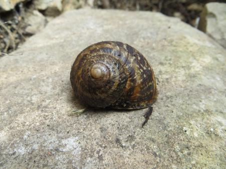Shell without a snail (you can never find a live one when you need it)