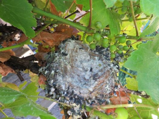 Goldfinch nest anchored in our vine