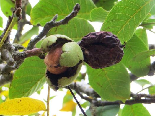 Ripe walnut about to fall, alongside a rotten one on the same twig