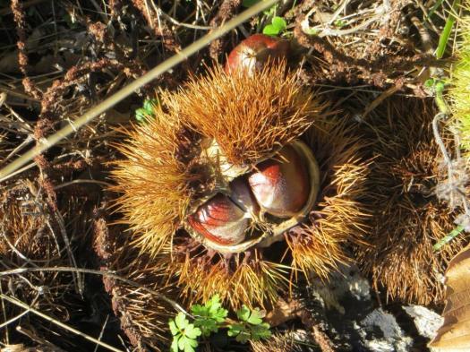 Chestnuts in abundance