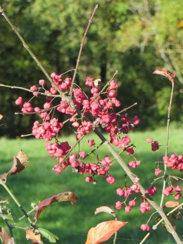 Spindleberry in the hedgerow near Le Pech - abundant this year.