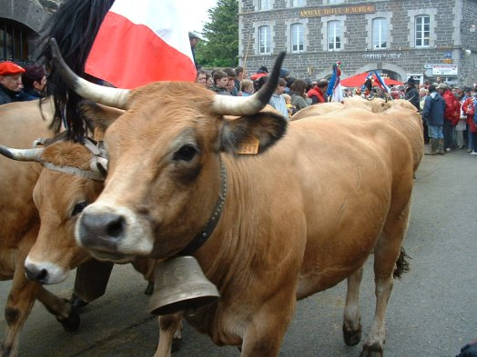 Aubrac cow - supplier of horn for the knife handles
