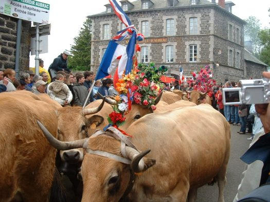 Aubrac cows during the transhumance celebrations