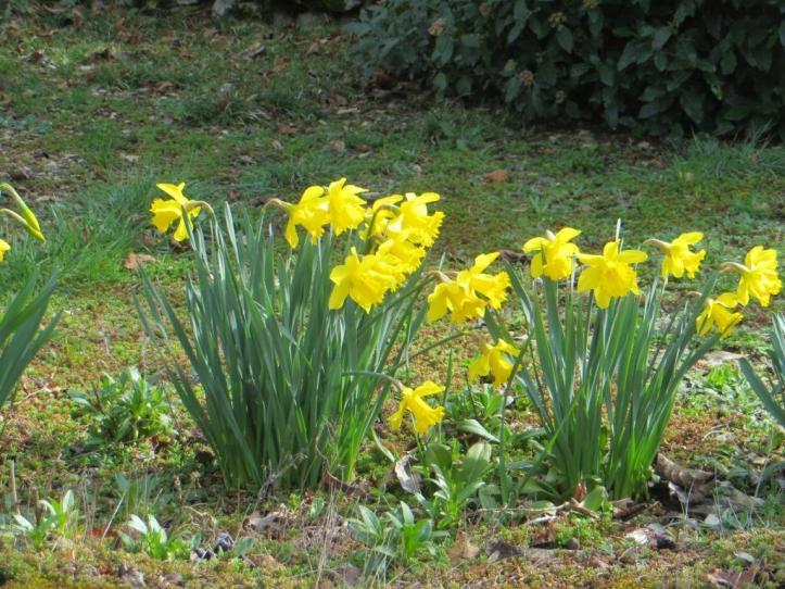 Daffodils - spring